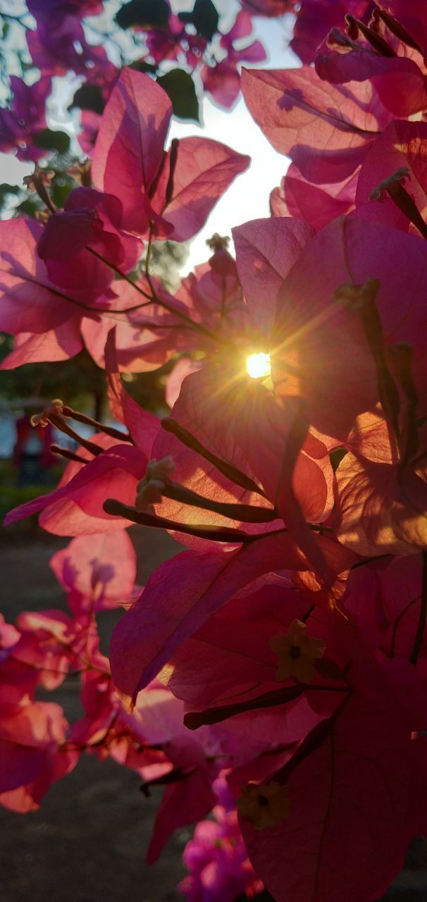 CLOSE-UP OF BOUGAINVILLEA PLANT