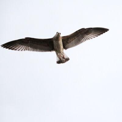 Sneek Seagull Canon760D EOS