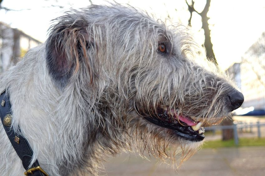 Portrait Pets Dog Outdoors Day Dog Of The Day Irish Wolfhound Dogslife Cearnaigh Dogwalk Dogs Of EyeEm Bokeh Autumn 2016 December 2016 Showcase December How's The Weather Today The Places ı've Been Today Domestic Animals Christmas Calendar One Animal