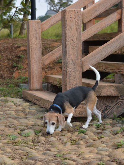 Woman's best friend Animal Themes Beagle Beagle And Stairs Beagle In Nature Beagle Sniffing Day Dog Dogs Domestic Animals Mammal Man's Best Friend Nature No People Outdoor Stairs Outdoors Pets Small Dog Sniffing Beagle Steps