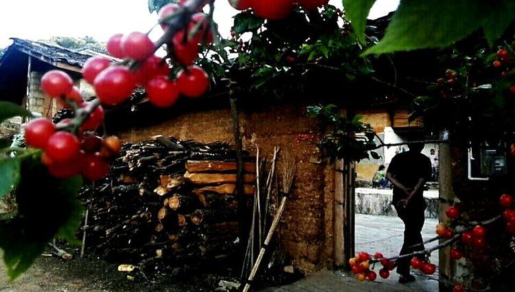 樱桃红迎客来 Tree Fruit Red Close-up Food And Drink