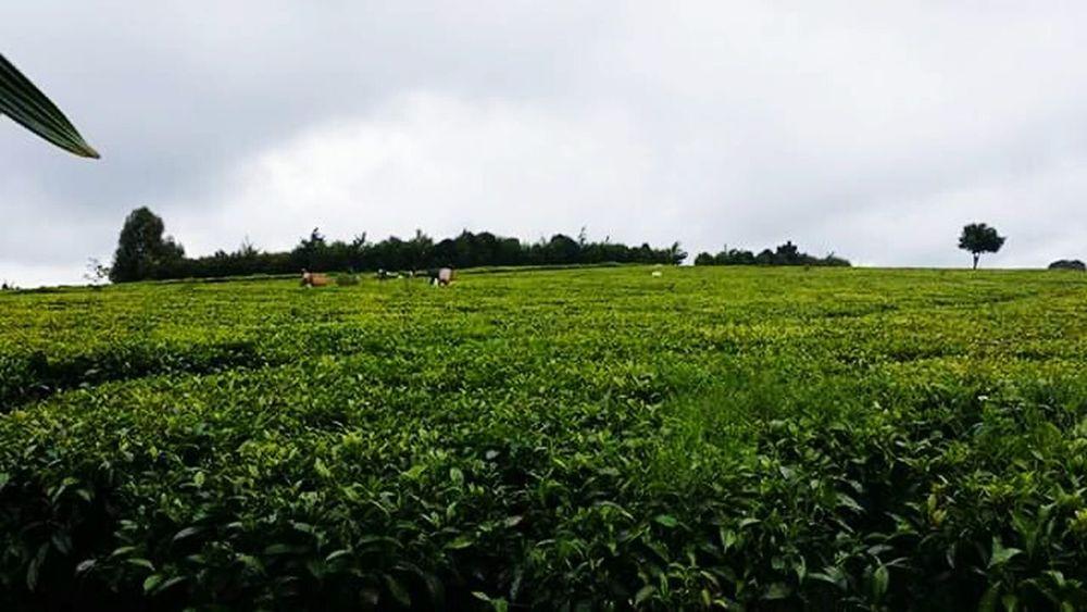 Tea picking in Kenya