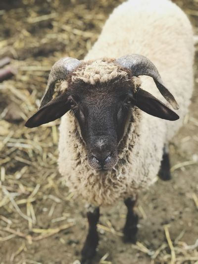 Sheep Animal Themes Animal Animals In The Wild Animal Wildlife One Animal Close-up No People Vertebrate Focus On Foreground Nature Day Land Field Animal Body Part High Angle View Sunlight Outdoors Insect Invertebrate