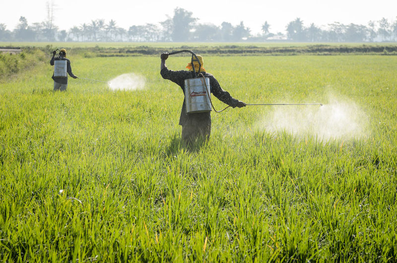 People spraying insecticide on agricultural field