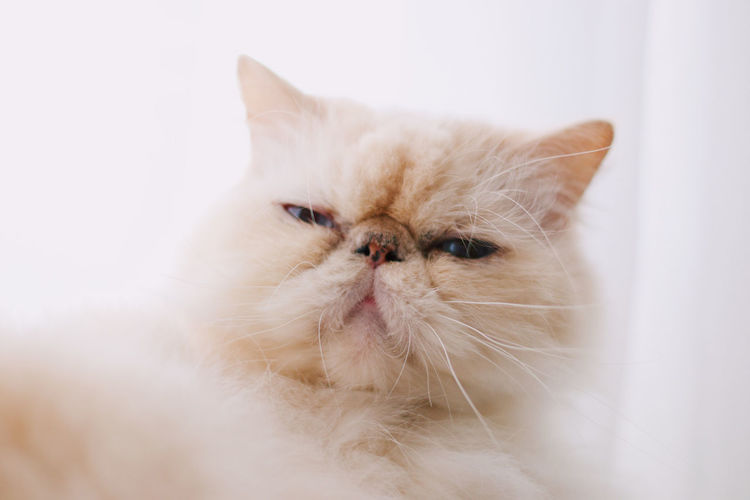 Cat Pets Domestic Domestic Animals Mammal Domestic Cat Animal Themes Cat Animal Feline One Animal Persian Cat  Indoors  White Color No People Vertebrate Close-up Portrait Looking At Camera Whisker Looking Animal Head