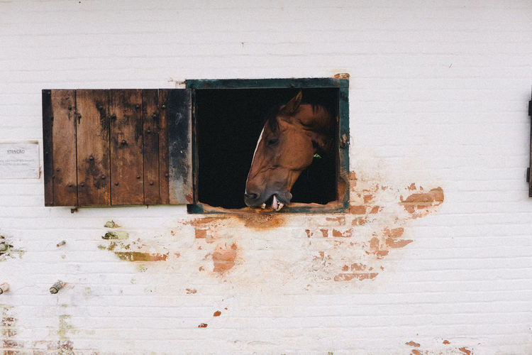 Brown Horse Looking Through Stable Window