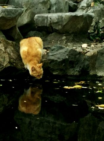 Cat Water Reflections Ponds