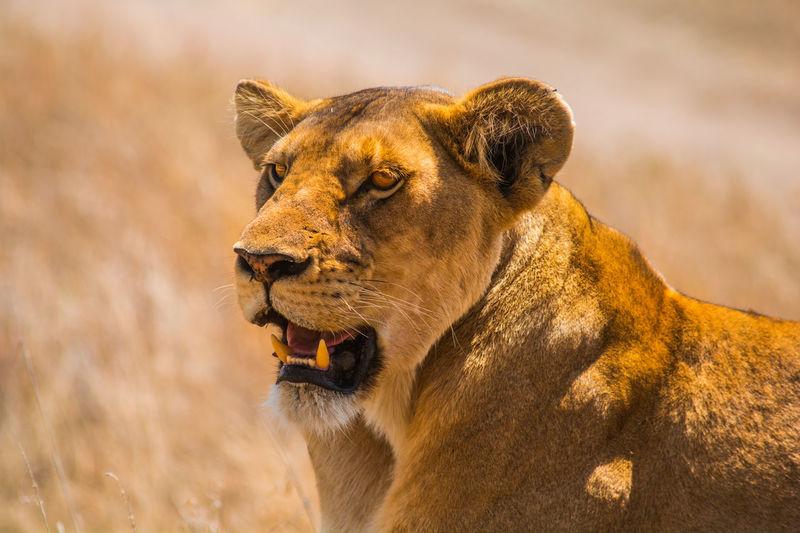 Lion Serengeti National Park Animal Animal Themes Lioness Predator Teeth Wildlife