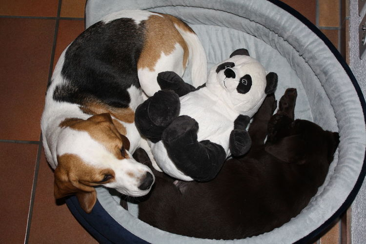 Directly above shot of dogs with toy panda relaxing in pet bed