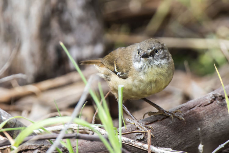 White-browed Scrubwren (Sericornis frontalis) Animal Themes One Animal Animal Wildlife Animal Vertebrate Animals In The Wild Bird Perching Plant Day No People Nature Focus On Foreground Close-up Selective Focus Outdoors Tree Wood - Material Twig Land Scrub Wren