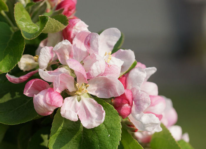 Blossom of apple tree, Malus Apple Tree Beauty In Nature Bloom Blooming Blossom Blossoming  Botanic Close-up Flora Flower Flower Head Fragility Freshness Garden Gardening Growth Malus Nature No People Outdoors Pink Color Plant Spring Springtime Tree