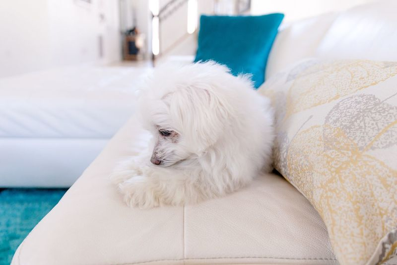 White dog lying on sofa at home