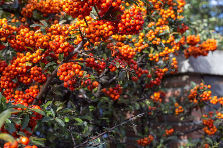 pyracantha, the