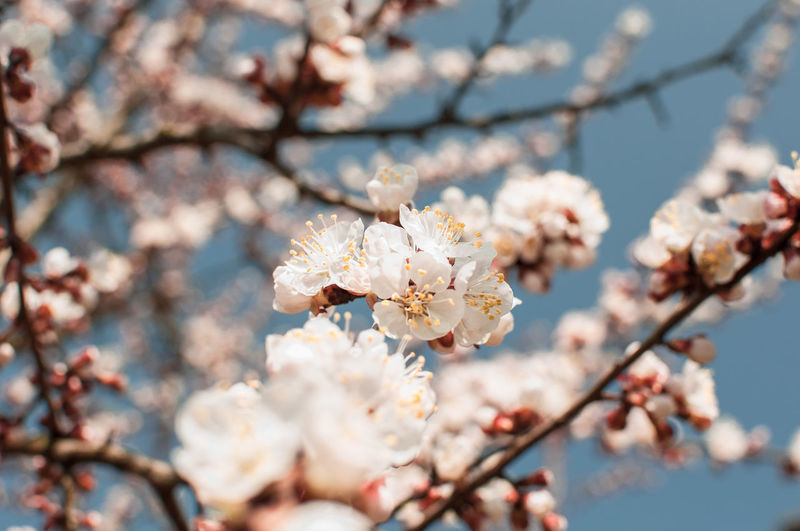 Apricot tree flowers with soft focus. spring white flowers on a tree branch. apricot tree in bloom.