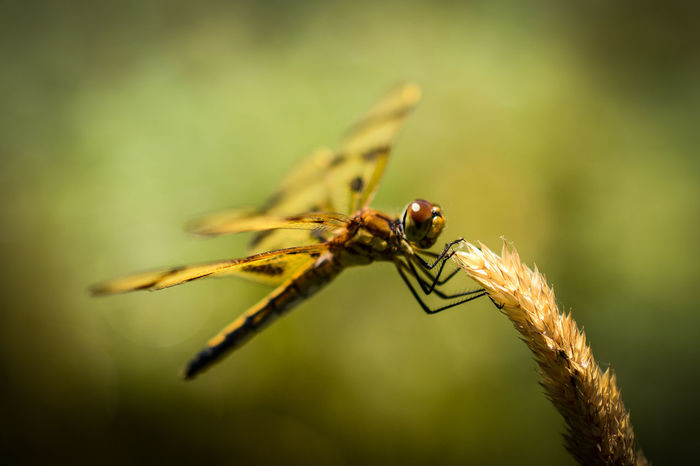 Dragonfly landed on grass next to the pond at West End Creamery in Whitinsville, MA Beauty In Nature Bokeh Bokeh Photography Close-up Day Depth Of Field Dragonflies Dragonfly Focus On Foreground Grass Growth Insect Macro Macro Beauty Macro Nature Macro Photography Macro_collection Nature Nature No People Outdoors Selective Focus Summer Summertime Wildlife