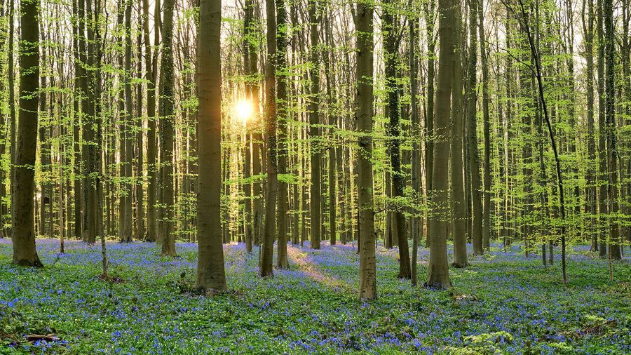 The magic of Hallerbos - bluebells - April 2019 - Plant Tree Forest Land Tranquility Beauty In Nature Tranquil Scene Tree Trunk Trunk Growth WoodLand Nature Scenics - Nature Non-urban Scene Green Color Day No People Landscape Sunlight Idyllic Outdoors Lens Flare Streaming Bluebells Hallerbos Bois De Hal Hyacinth Flower