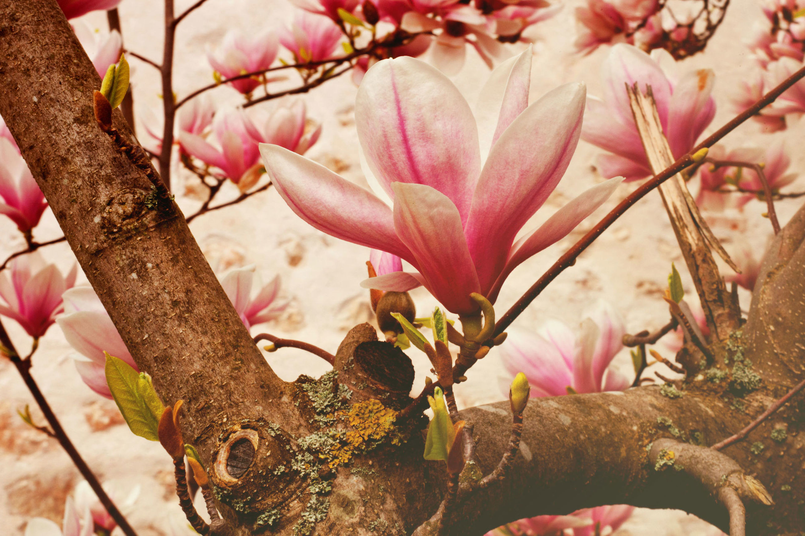 plant, flower, flowering plant, growth, pink color, tree, close-up, branch, beauty in nature, no people, nature, fragility, vulnerability, day, freshness, focus on foreground, outdoors, petal, selective focus, springtime, cherry blossom