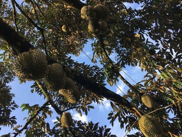 PlutoBiogreen GrowlikeTurbo Durians ThailandOnly