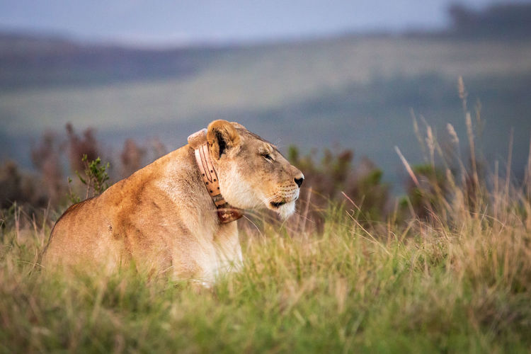 A single female lion in south africa lying in grass observing the environment
