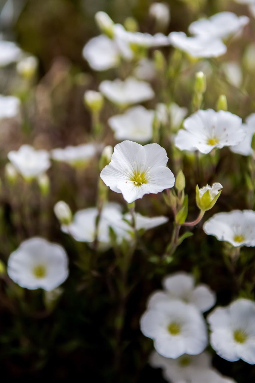 flower, white color, fragility, beauty in nature, petal, nature, freshness, flower head, growth, day, no people, plant, outdoors, focus on foreground, blooming, close-up, periwinkle