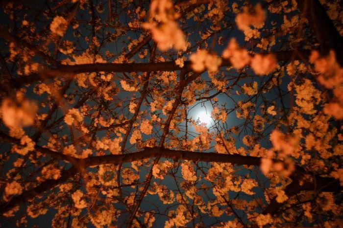 夜桜と月 Chrry Blossoms Moon Nature Nature Photography Flower Flower Head Moonlight Nature_collection