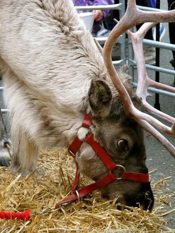 How You Celebrate Holidays Rudolf Reindeer Christmas Time Christmasmarket Christmas Spirit Merry Christmas Christmas Market Antlers Big Eyes Eyes Animals Animal Magical Festive Season Reindeers Magic Santa Elves Seasons Greetings Outdoors Christmas Eye4photography  EyeEm Gallery EyeEm Best Shots