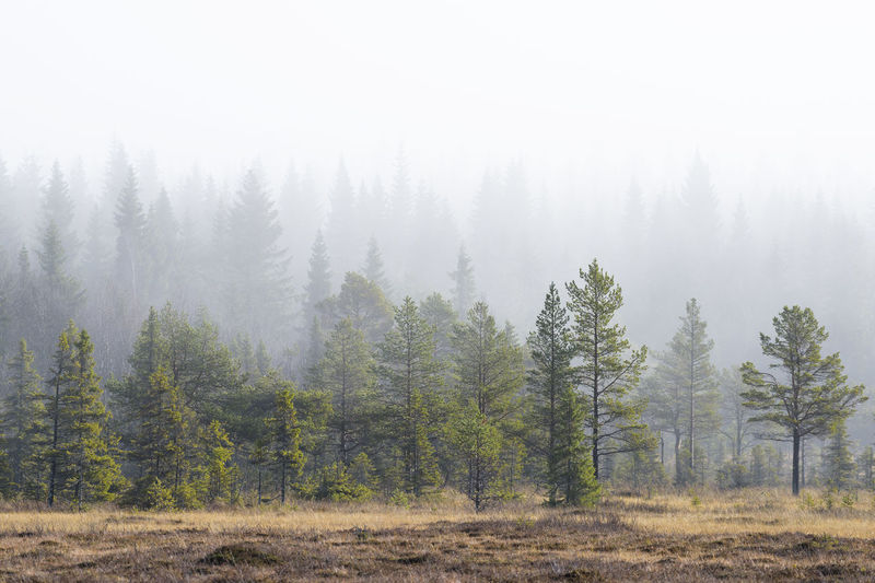 Pine trees in foggy weather