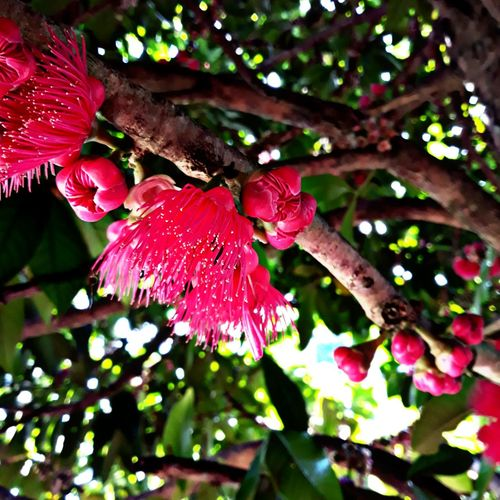 Flor de Jambo No People Red Close-up Outdoors Flower Pink Color Flower Head Day Tree Freshness Leaf Growth Branch