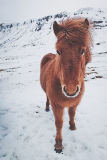 Winter Snow Domestic Animals Cold Temperature Mammal Animal Themes Looking At Camera One Animal Livestock Portrait Nature Outdoors Standing No People Day Close-up Iceland Horse Icelandic Horse