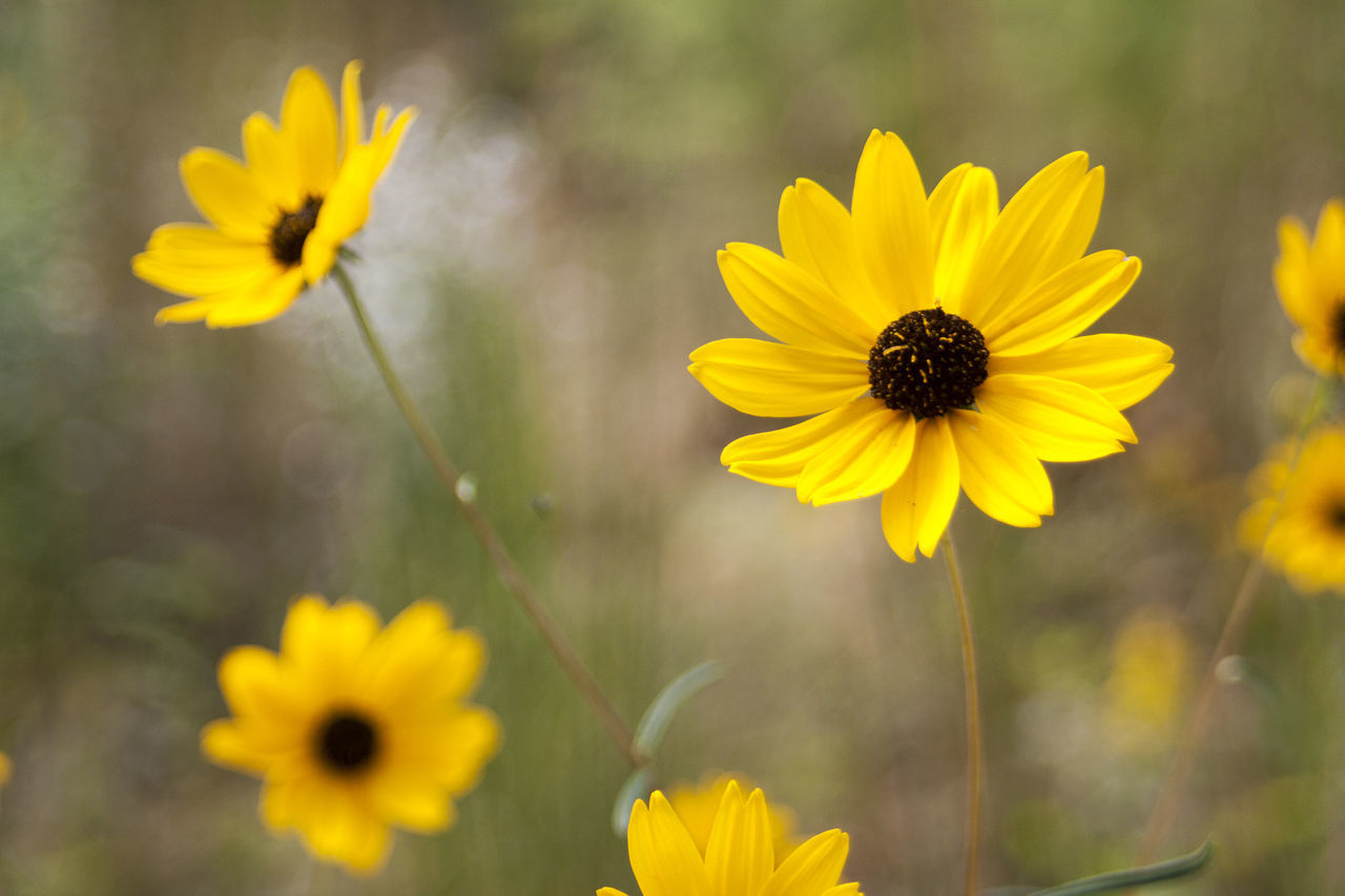 yellow, flower, petal, fragility, nature, freshness, flower head, growth, beauty in nature, plant, blooming, outdoors, cosmos flower, field, no people, day, focus on foreground, close-up, black-eyed susan, crocus