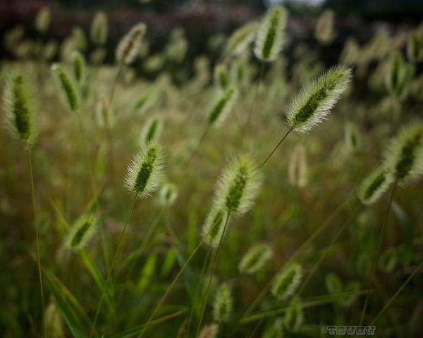 今日は晴れてますが風が強いですね🍃 Happy Holidays! Foxtail Grass Autumn Nature Streetphotography Relaxing Landscape Holiday A Day Of Tokyo