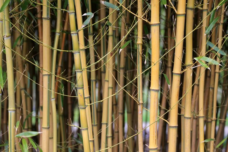 Bamboo Tree Bamboo Leaf Bamboo Trees Bamboo - Material Bamboo Canes Bamboo Groves Bamboo - Plant Bamboo Tree... Bamboo Forest Bamboo Shoot Bamboo Leaves Beauty In Nature Branch Nature Plant Zen Spa Fragility Freshness Growth