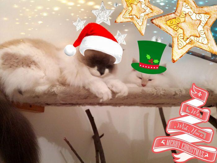 Cat Siberiancat Friendship Nevamasquerade Christmastime Holiday - Event Christmas Present Christmas Decoration Gift Winter Tree No People