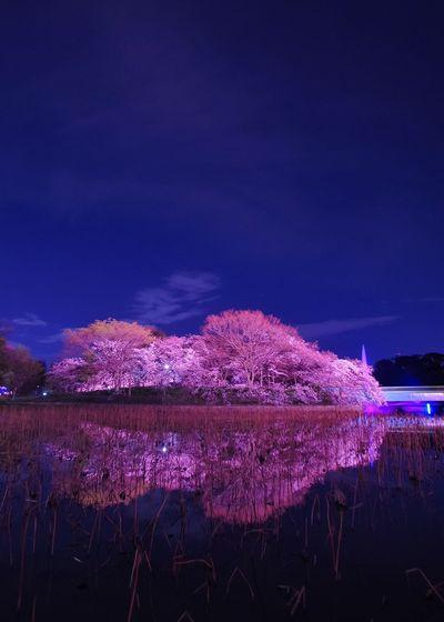 長居植物園 桜 ライトアップ Sakura Japan