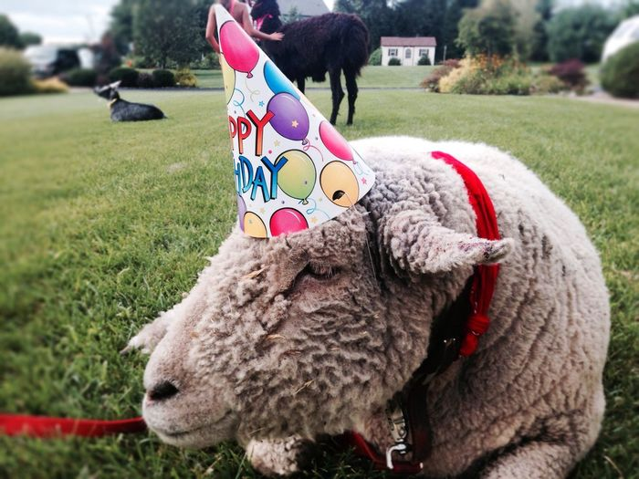 Sheep with birthday hat lying in field