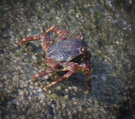 Crab- on the rock ... Animal Themes Animal Wildlife Animals In The Wild Beach Beauty In Nature Colorful Colors Crab Crustacean Day Legs Natural Beauty Nature On The Rock One Animal Outdoors Red Red Crab Rock Sea Life Water Wet