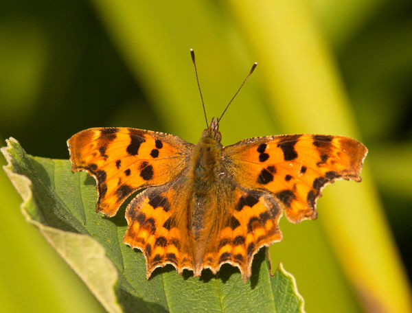 Comma butterfly EyeEmNewHere Animal Themes Animal Wildlife Animals In The Wild Beauty In Nature Butterfly Butterfly - Insect Close-up Comma Garden Insect Leaf Nature No People One Animal Outdoors Uk First Eyeem Photo