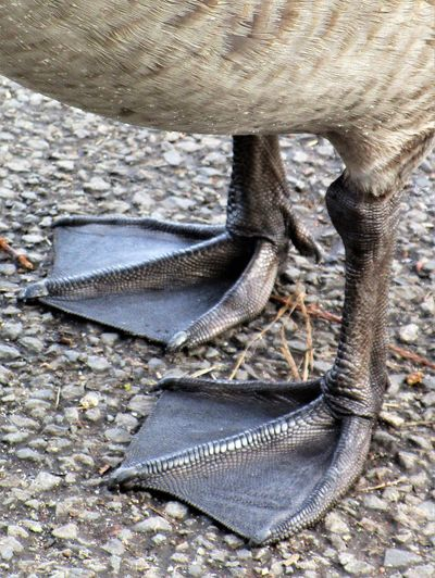 Animal Themes Bird Close-up Day Detail Feet Goose Feet Low Section Nature No People Outdoors