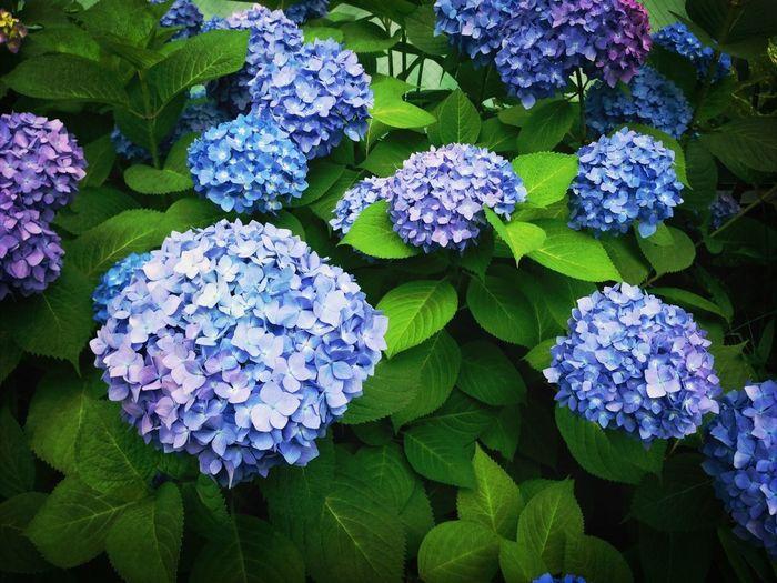 紫陽花がはえる季節になってきたね。