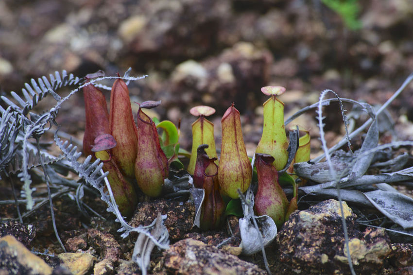 Pitcherplant Pitcher Plant Pitcher Plants Nephentes Nature_collection Beauty In Nature Nature Photography Freshness Leaf Nature Plant No People Outdoors Growth Day Fragility Close-up Beauty In Nature Kantong Semar Nature Naturetheme Insect Naturelover Growth Themes