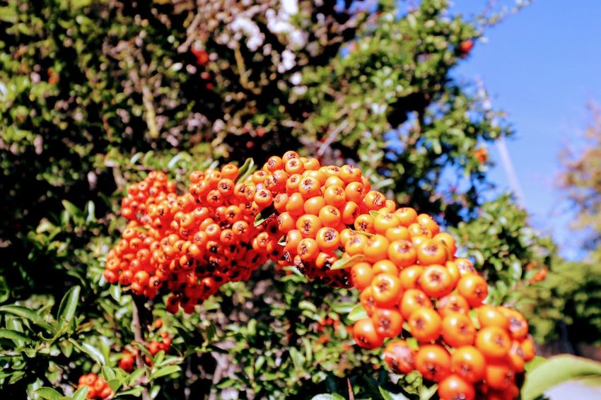 Rote Beeren Red Tree Fruit Close-up Plant Berry Fruit