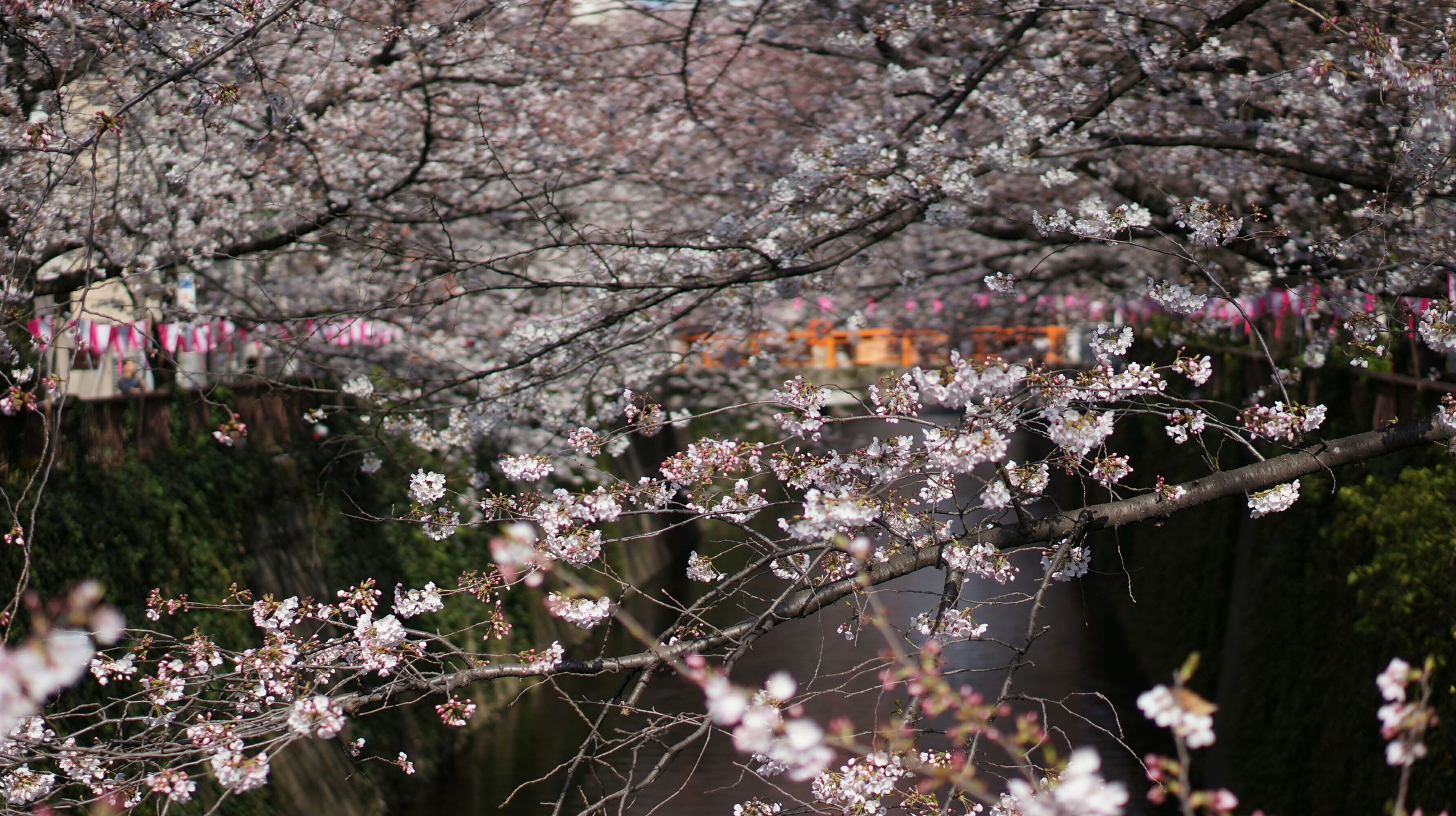 flower, tree, freshness, growth, branch, fragility, cherry blossom, blossom, beauty in nature, cherry tree, pink color, nature, in bloom, springtime, blooming, petal, park - man made space, outdoors, day, focus on foreground
