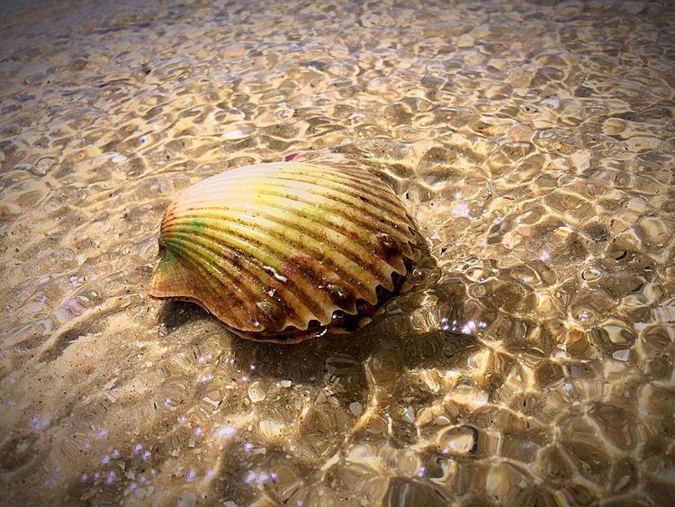 Ocean creature. Ocean Creature Clam Maybe Beautiful Findings Nature Florida