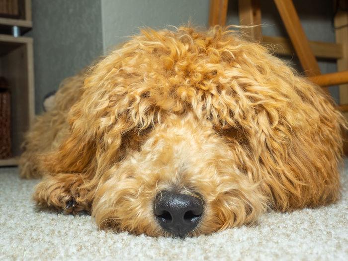 Close-up of dog sleeping at home