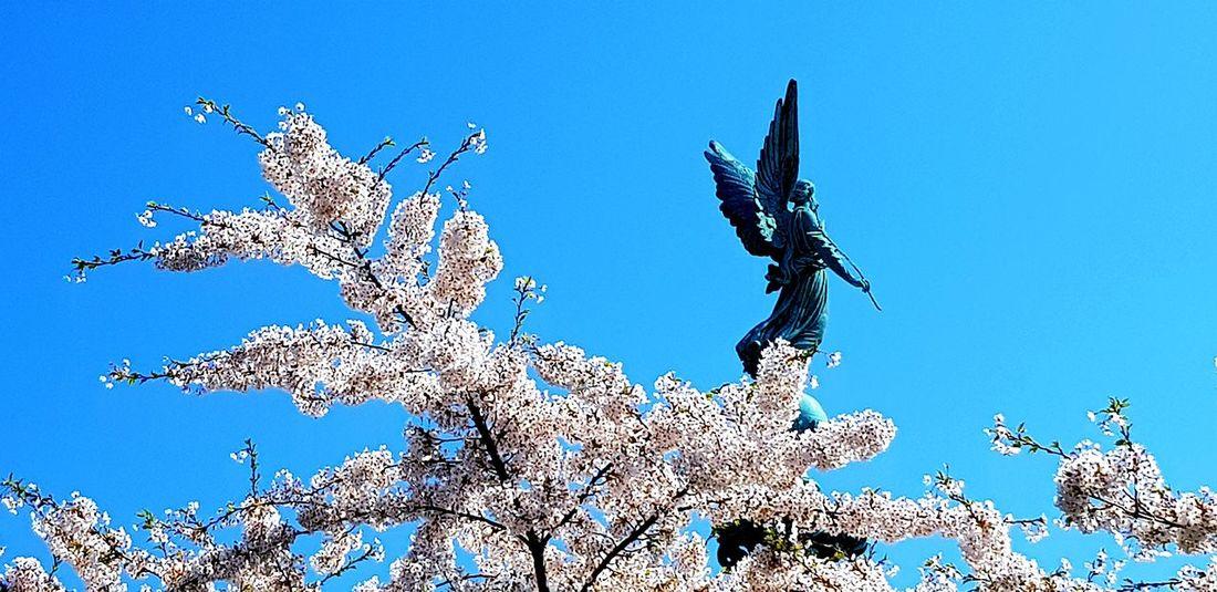 Sakura Angel Statue Angel Cherry Blosom Clear Skies Bird Clear Sky Blue Sky Spread Wings