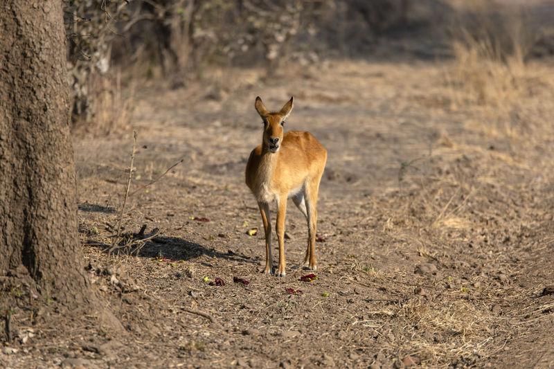 Impala standing on field
