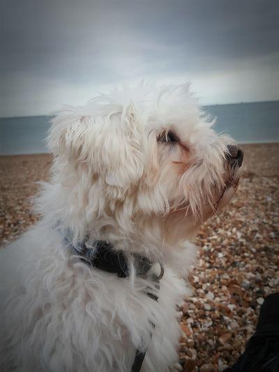 Pets Sea Beach Dog Animal Hair Sky Horizon Over Water Cloud - Sky