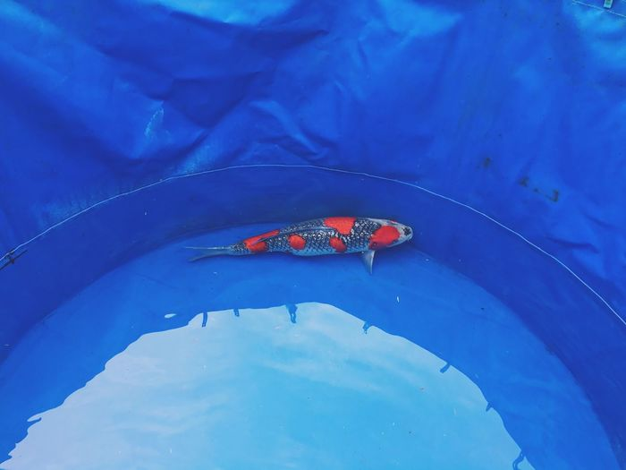 High angle view of koi carp swimming in blue container