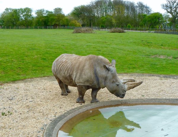 Rhinoceros Whipsnade Zoo Outdoors Nature Tree Animal Themes One Animal Grass Nature Mammal Field Water Full Length Day No People Domestic Animals Sky