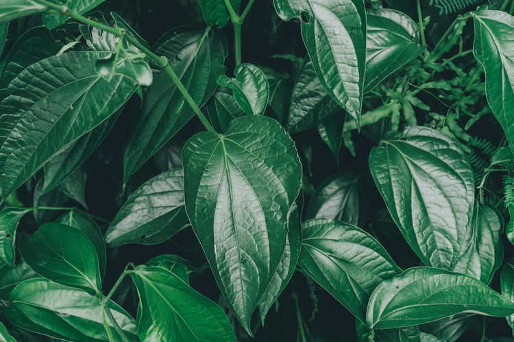 Dark and greenery leaves and background from tropical leaves Backgrounds Beauty In Nature Close-up Day Food Food And Drink Freshness Full Frame Green Color Greenery Growth Healthy Eating Herb Leaf Leaf Vein Leaves Nature No People Outdoors Plant Plant Part Tea Leaves